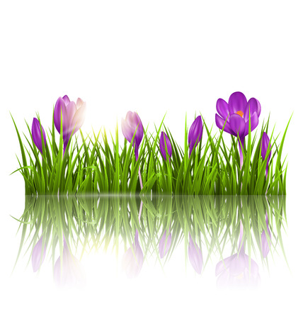 grass flowers: Green grass lawn, violet crocuses and sunrise with reflection on white. Floral nature spring background