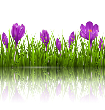 grass lawn: Green grass lawn and violet crocuses with reflection on white. Floral nature spring background