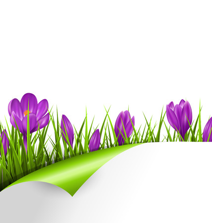 spring bud: Green grass lawn with violet crocuses and wrapped paper sheet isolated on white. Floral nature spring background