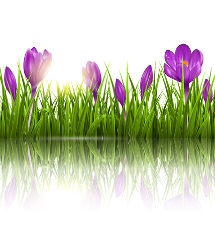 grass lawn: Green grass lawn, violet crocuses and sunrise with reflection on white. Floral nature spring background