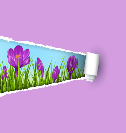 grass lawn: Green grass lawn with violet crocuses and ripped paper sheet isolated on violet. Floral nature spring background