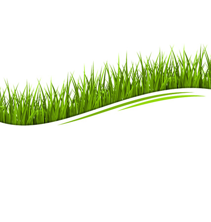 sedge: Green grass lawn wave isolated on white. Floral eco nature background