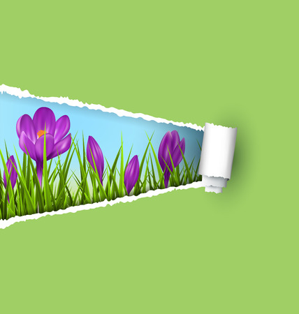 grass lawn: Green grass lawn with violet crocuses and ripped paper sheet isolated on green. Floral nature spring background