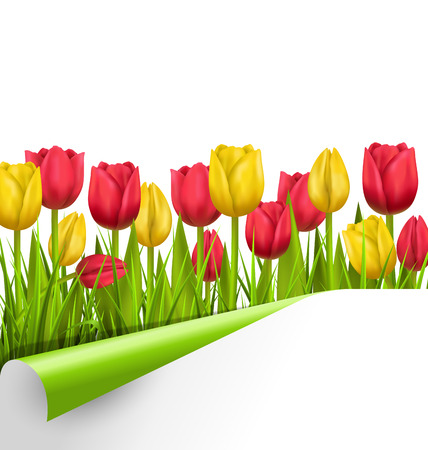 greet card: Green grass lawn with yellow and red tulips and wrapped paper sheet isolated on white. Floral nature flower background Illustration