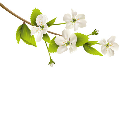 cherry branch: Cherry branch with white flowers isolated on white background