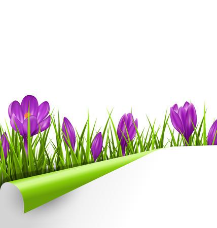campo de flores: C�sped de hierba verde con las azafranes violetas y la hoja de papel envuelto aislado en el fondo blanco. La naturaleza floral de primavera fondo