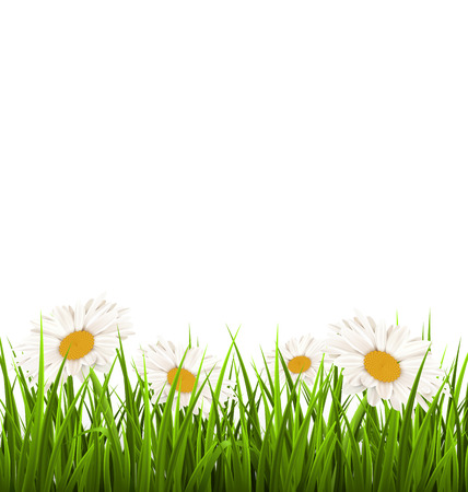 chamomiles: Green grass lawn with white chamomiles isolated on white. Floral nature flower background