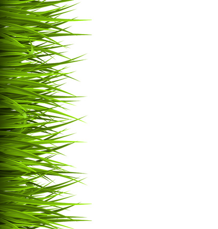sedge: Green grass lawn isolated on white. Floral eco nature background