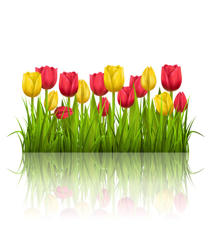 grass lawn: Green grass lawn with yellow and red tulips and reflection on white. Floral nature flower background Illustration