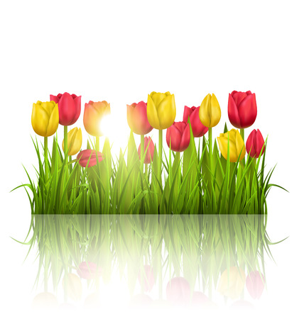 greet card: Green grass lawn with yellow and red tulips sunlight and reflection on white. Floral nature flower background Illustration