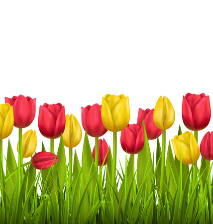 Green grass lawn with red and yellow tulips isolated on white. Floral nature flower background