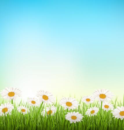 campo de flores: C�sped de hierba verde con las manzanillas blancas en el cielo de fondo