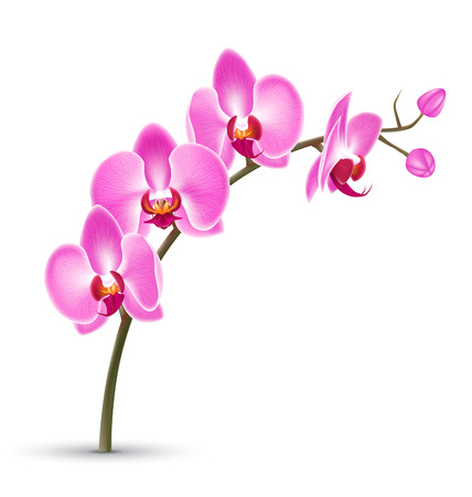 Branch of pink orchid isolated on white background