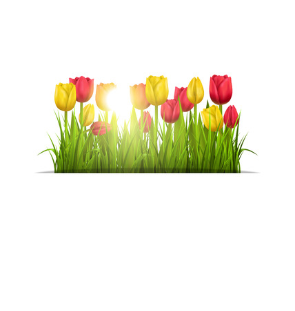 greet card: Green grass lawn with yellow and red tulips and sunlight isolated on white