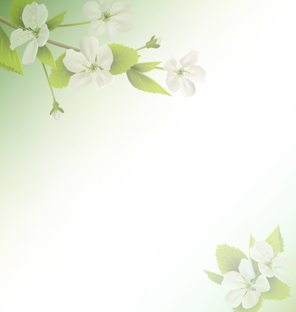 cherry branch: Cherry branch with white flowers on green background