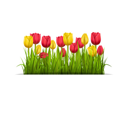 greet card: Green grass lawn with yellow and red tulips isolated on white Stock Photo