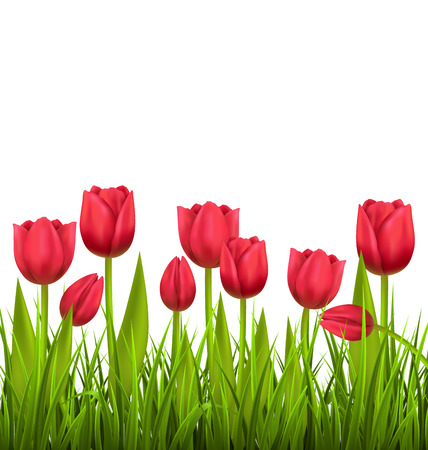 tulips in green grass: Green grass lawn with red tulips isolated on white