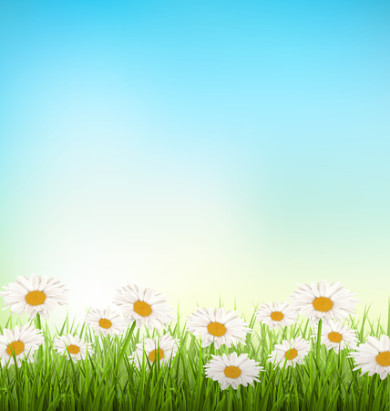 chamomiles: Green grass lawn with white chamomiles on sky background