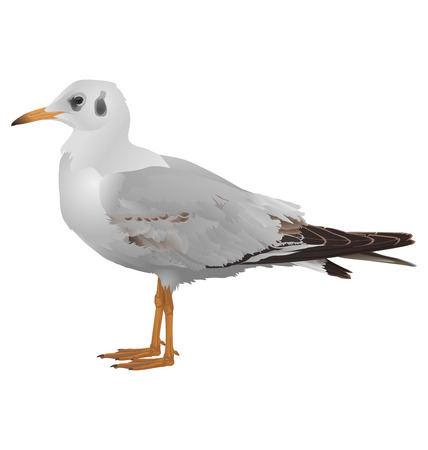 shoreline: Seagull stands isolated on white background