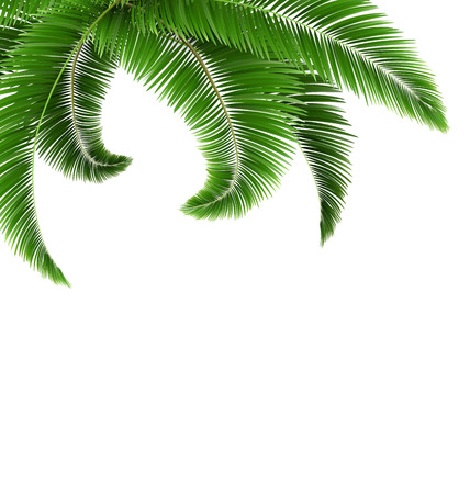 Green palm tree leaves isolated on white background Çizim