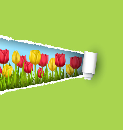 tulips in green grass: Green grass lawn with yellow and red tulips and ripped paper sheet isolated on green. Floral nature flower background
