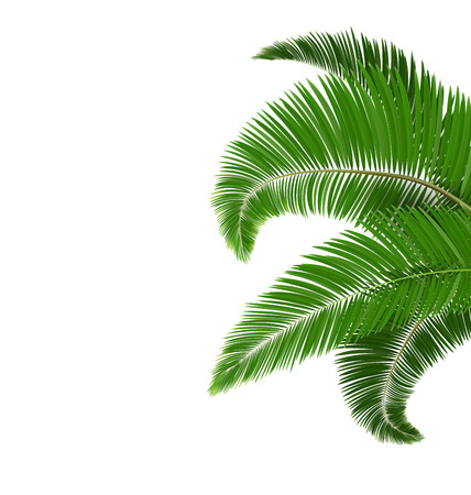 greet card: Green palm tree leaves isolated on white background Stock Photo