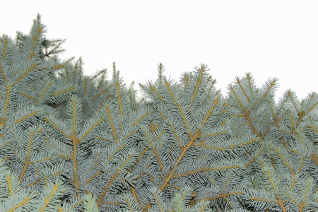 Close up of fir tree branch Stock Photo - 14781967