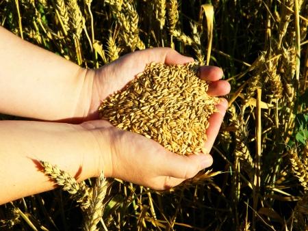 The Wheat Field