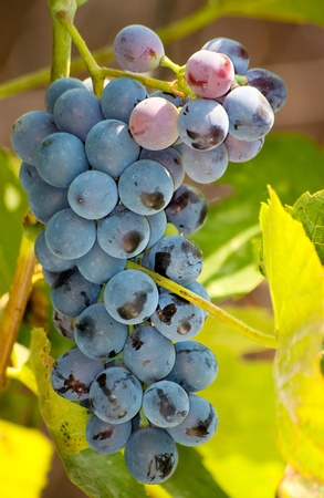 Closeup of bunch of red grape in the vinyard Stock Photo - 10884024