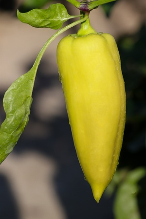 Closeup of fresh white peppers on the plant - biogrown without chemicals
