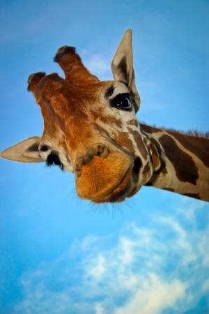Giraffe Stock Photo - 17007219