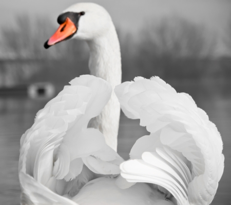 Mute Swan portrait Stock Photo - 17081151