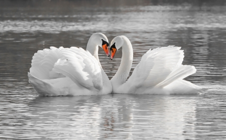 Romantic swan couple in love