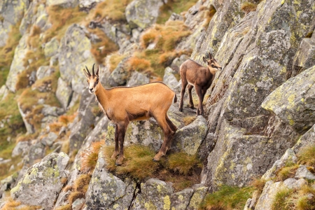 Chamois  Rupicapra  in mountain - in its natural environment, parent and cub