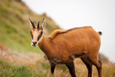 Chamois  Rupicapra  in mountain - in its natural environment, chamois is feeding