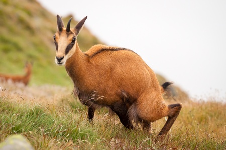 Chamois  Rupicapra  in mountain - in its natural environment, Chamois is marking his ground