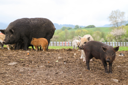 Multicolored piglets with mom on farm