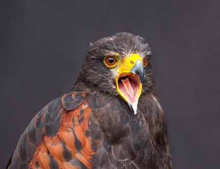 Close up picture of braying young golden eagle