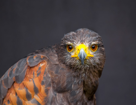 Close up picture of stare-looking young golden eagle Stock Photo