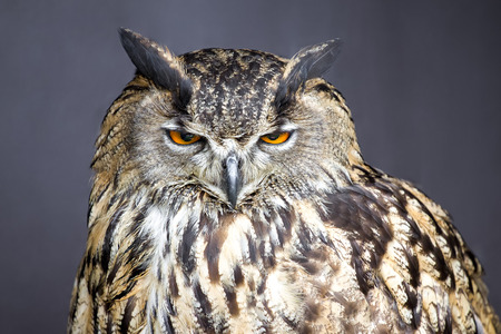 Closeup picture of stare-looking eagle owl - detail Stock Photo