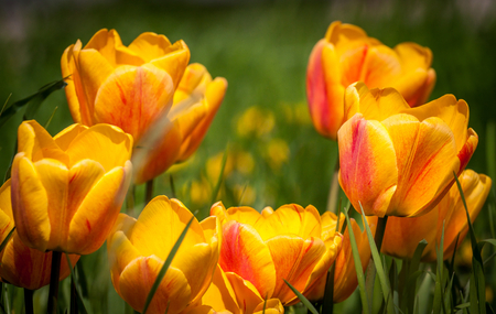 Beautiful bouquet of colorful natural bio tulips in habitat Stock Photo