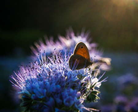 pollinators: Butterfly Aphantopus hyperantus  Nymphalidae on Phacelia Tanacetifolia Flower at sunset Stock Photo