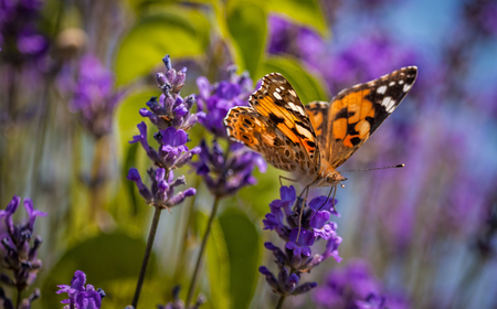Butterfly Vanessa cardui on a lavender flower