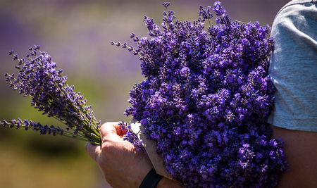 Man holding a bouquet of lavender immediately after harvest Stock Photo
