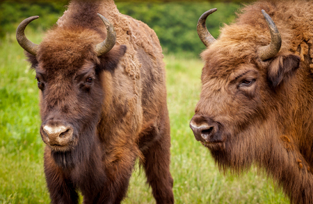 Wisent European bison (Bison bonasus)   - young and elderly male