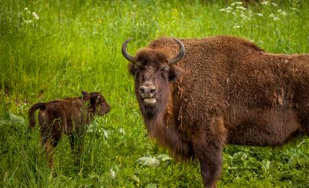 Wisent European bison (Bison bonasus)  - mother guarding her cub
