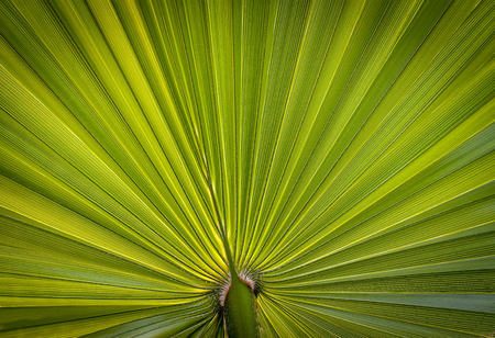 Closeup picture of palm leaf