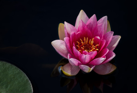 Picture of beautifull pink Waterlily