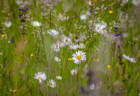 Closeup picture of a field meadow with beautiful different kind flowers and grasses