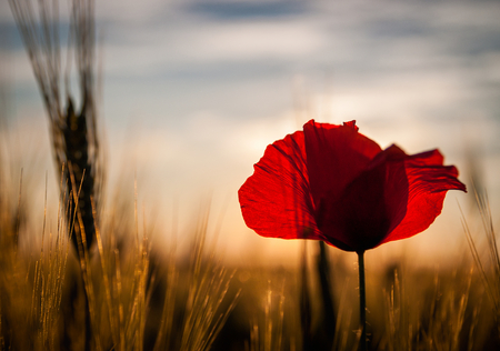 Alone poppy in agricultural field in sunset light. Nice summer wallpaper. Stock Photo
